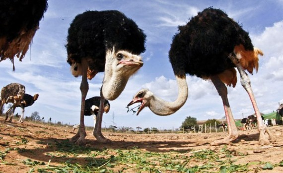 Ostrich Riding - Global Travel Alliance South Africa