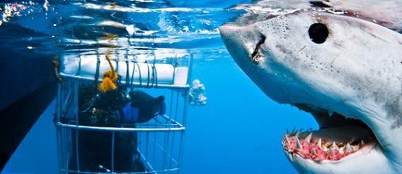Shark Cage Diving - Global Travel Alliance SA